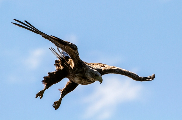 White-tailed eagle from Lofoten, Norway. © Per Ole Hagen