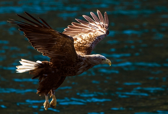 White-tailed eagle from Lofoten, Norway. © Per Ole Hagen